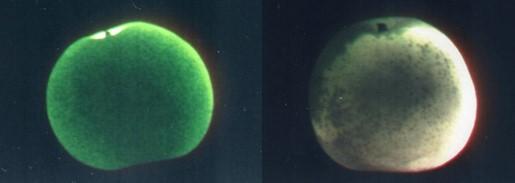 梨の分光イメージング画像